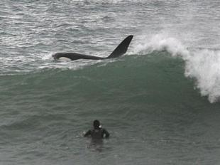 killer whale surfing